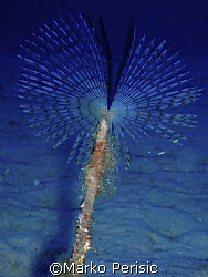 very delicate Peacock worm (Sabella pavonina) Calvi Corsi... by Marko Perisic 